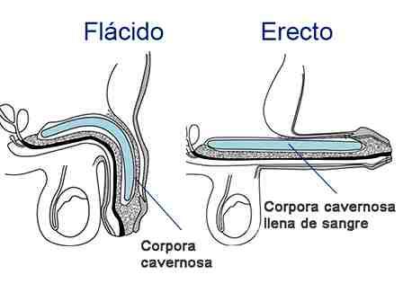 pene-flacido-erecto